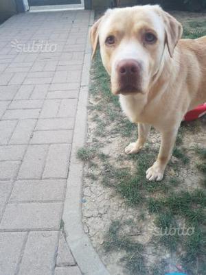 Labrador 3 anni in regalo a persone serie