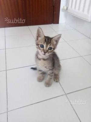 MISTER - gattino adorabile di 3 mesi