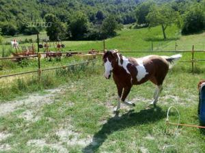 Paint Horse 3 anni