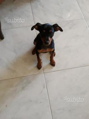 Pinscher maschio cucciolo