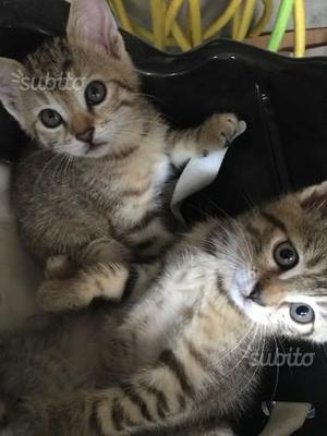 Regalo 5 gattini di 2 mesi