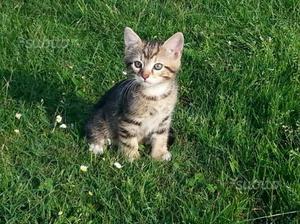 Regalo gattino maschio di due mesi