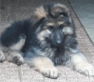 Bellissimo cucciolo pastore tedesco pelo lungo
