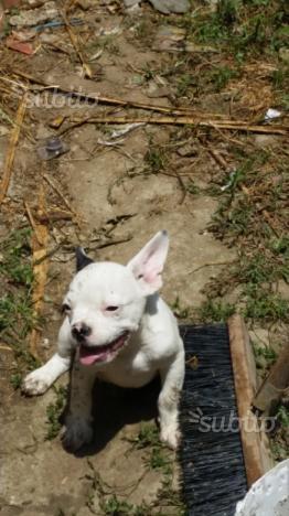 Bulldog francese maschio