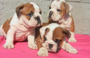 Bulldog inglese cuccioli - english bulldog