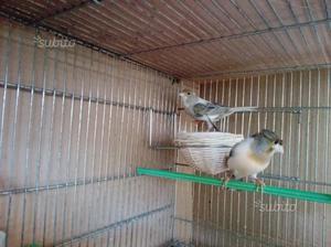 Canarini Arlecchino Portoghesi