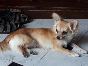 Chihuahua maschio 9 mesi