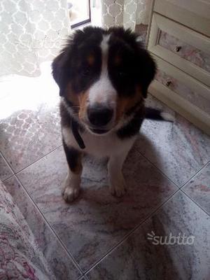 Dono cucciolo mix Collie-Bovaro del Bernese