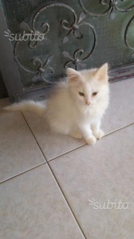 Gattino turco van pelo angora