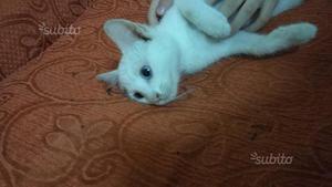Gatto, Gattina Bianca