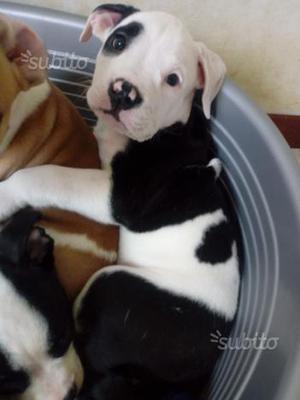 Il cucciolo 2 mesi Pitt bull