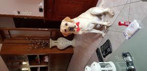 Labrador retriever 2 anni