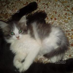 Meravigliosa gattina mix maine coon