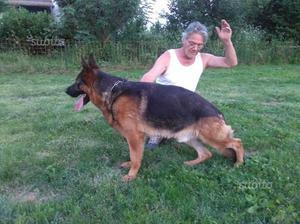 Pastore tedesco maschio