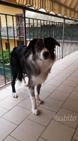 Regalo Cane Border Collie