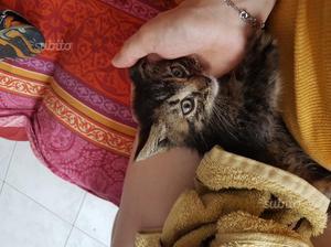 Regalo Gattina di 1 mese emmezzo dolcissima