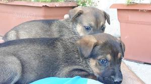 Regalo cuccioli di pastore svizzero