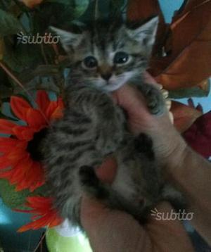 Ultimi gattini mamma norvegese delle foreste