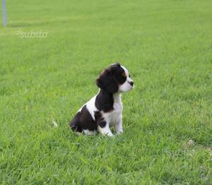Ultimo cucciolo di cavalier king charles spaniel c