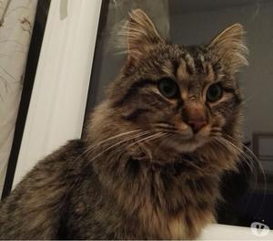 Smarrito gatto in zona Iolo -Caserane