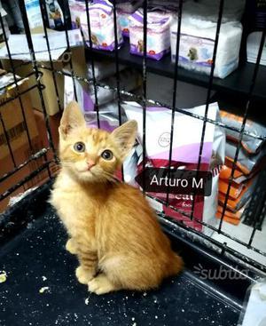 Arturo gattino rosso