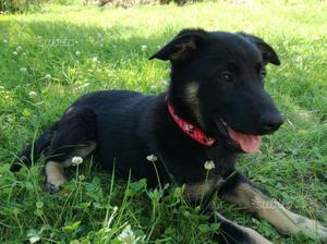 Asha, dolcissima cucciola 3 MESI