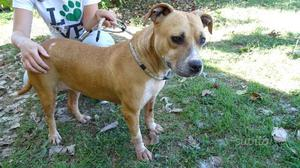 Baby, 3 anni, american staffordshire terrier, ster