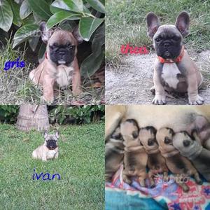 Bulldog francese pedigree