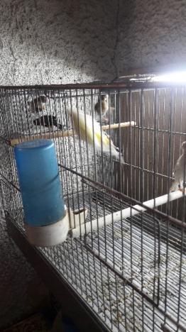 Cardellino più coppia canarino
