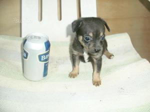 Cucciola pincher chiwawa