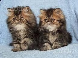 Cuccioletti di gatti persiani