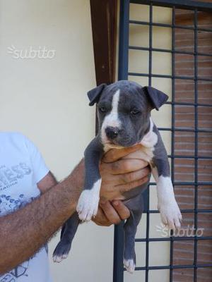 Cuccioli di Amstaff blu con pedigree enci