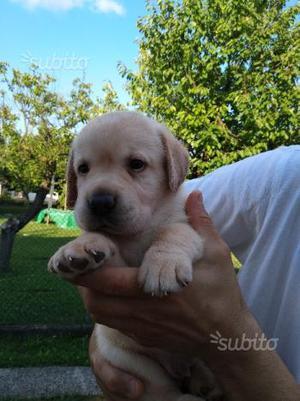 Cuccioli di labrador retriever con pedigree ENCI