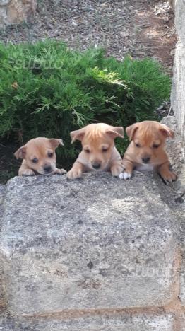Cuccioli incrocio tra pincher e Jack Russell