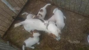 Cuccioli purissimi di Jack Russell