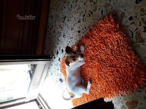 Cucciolo di Jack russell femmina