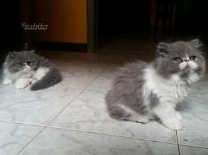 Disponibili gattini persiani