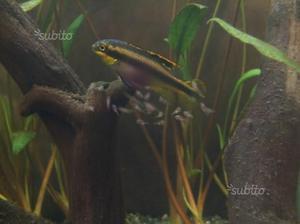 Femmina di pelvicachromis pulcher super red