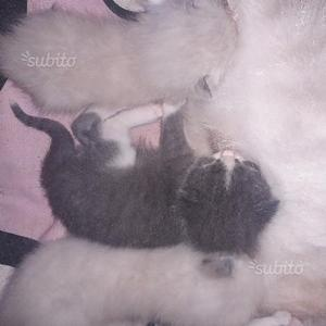 Gatti siamese incrocio thai