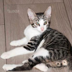 Gattino di 3 mesi