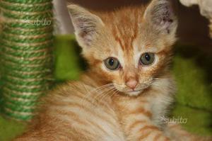 Gattino rosso maschio