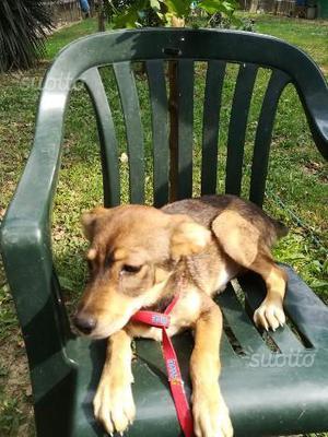 Ginger cucciola 5 mesi tra fe e rovigo