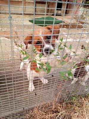 Jack russel terrier gamba corta