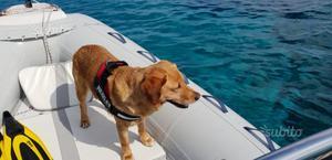 Labrador Disponibile per accoppiamento