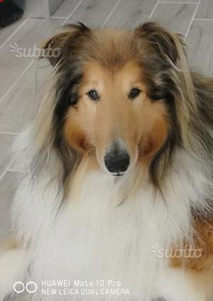 Lassie collie maschio 5 anni