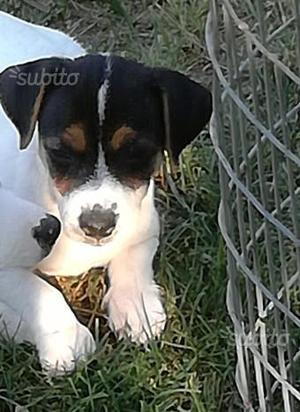 Maschio Jack Russell terrier