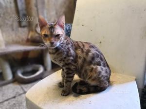 Regalo gatta bengala di 1 anno