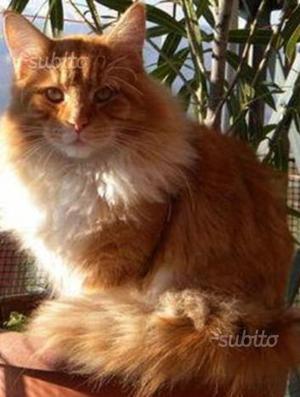 Regalo gattina madre norvegese rossa