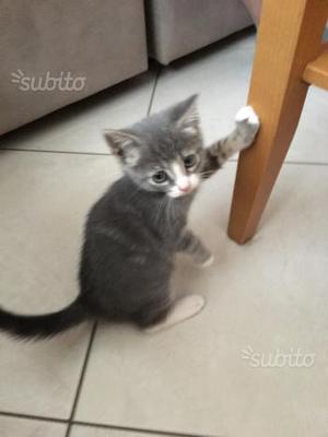 Regalo gattino di 3 mesi