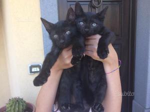 Regalo questi due gattini
